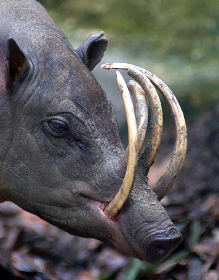 cele mai ciudate animale - babirusa