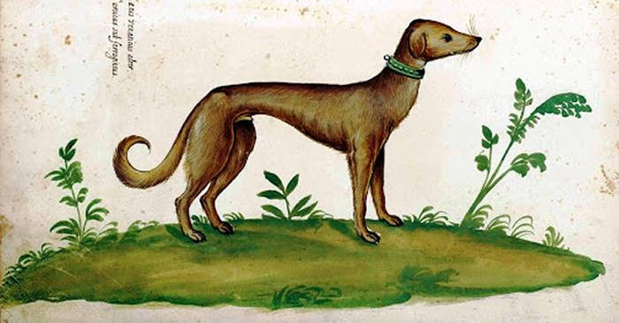 9 rase de caini care au disparut