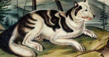 Cândva, prietenii omului: 9 rase de câini care au dispărut