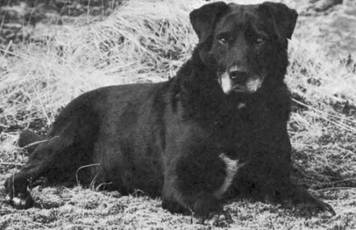 rase de câini