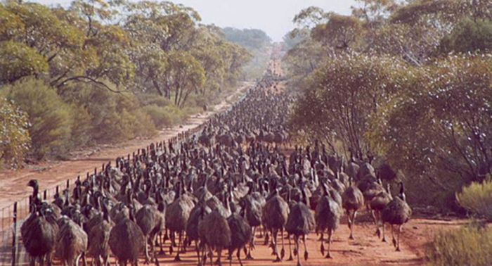 razboiul impotriva emu