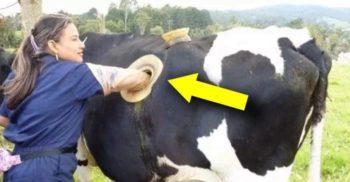 <mark>VIDEO</mark> În numele științei? Fermierii elvețieni au făcut găuri în vaci