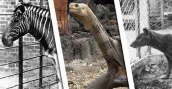 5 animale dispărute în zilele noastre, pe care le mai poți admira doar în fotografii