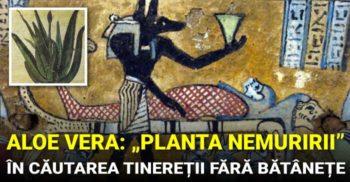 """Aloe Vera, """"planta nemuririi"""". Ce știau anticii despre tinerețe fără bătrânețe"""