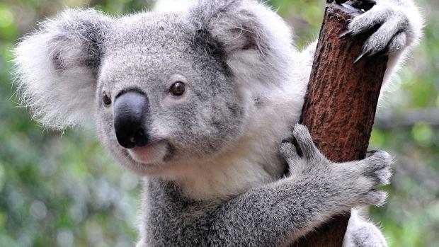 Animale salbatice - ursi koala