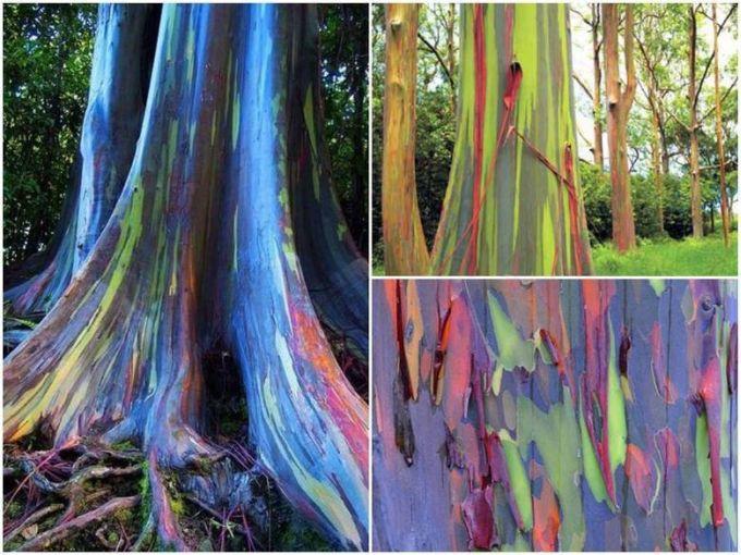 Fenomene naturale - Eucalipt curcubeu