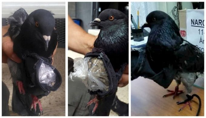 Porumbelul stupefiant - porumbei mesageri
