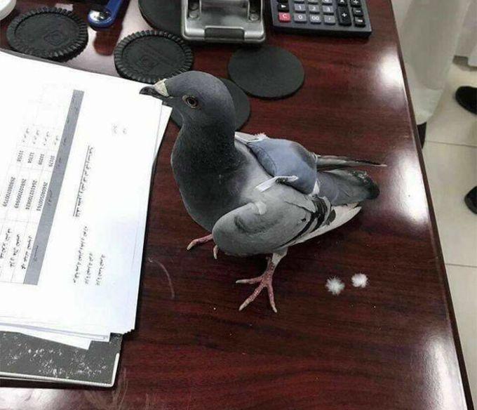 Porumbelul stupefiant - rucsac