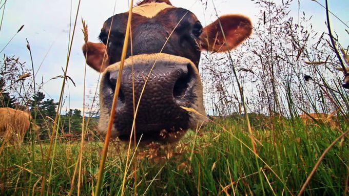 Comportamente inexplicabile - Vaci
