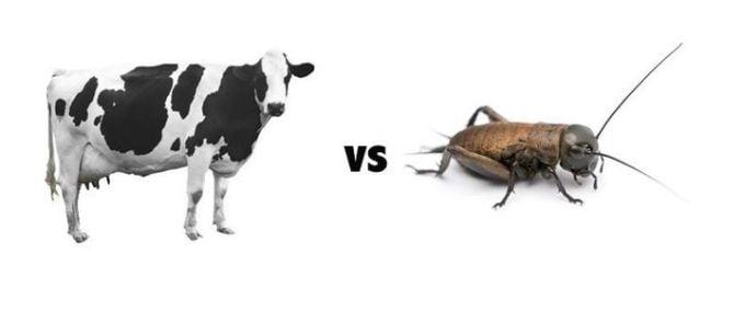 Mancaruri ciudate - Vaci vs insecte