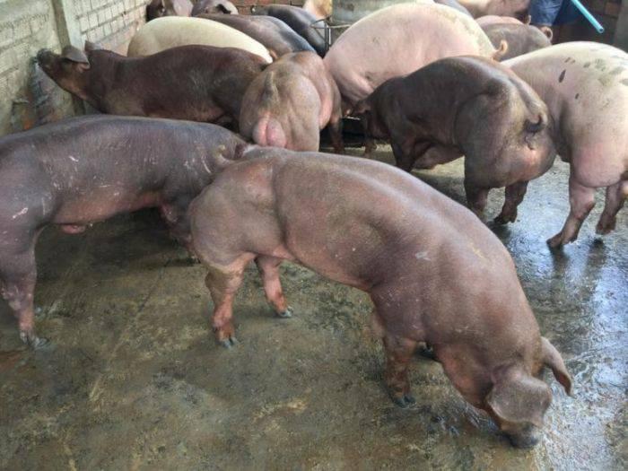 Porci mutanti - Porci