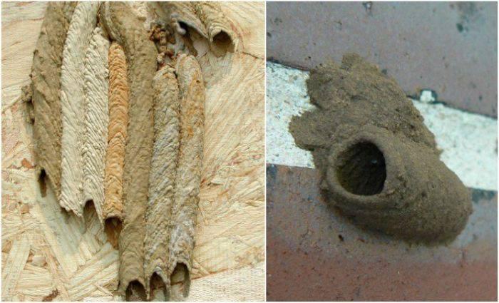 Capsula viespe
