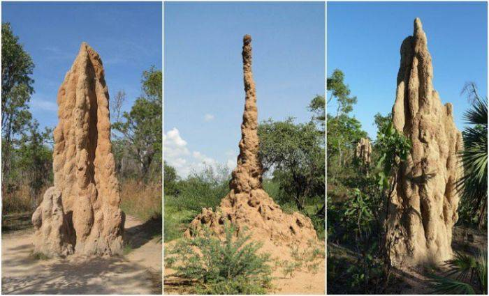 Musuroaie termite