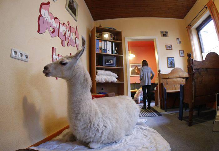 Animale de companie - Lama