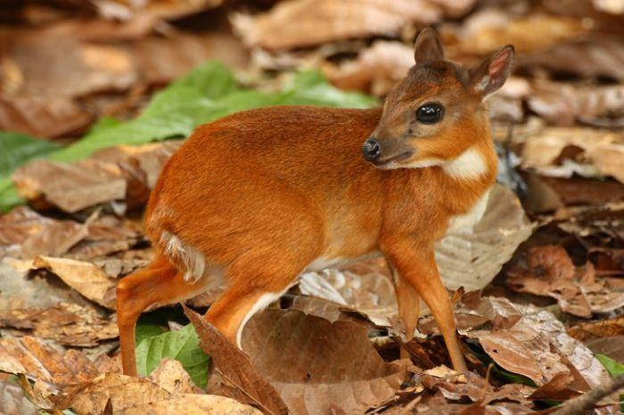 Cele mai mici animale - Antilopa