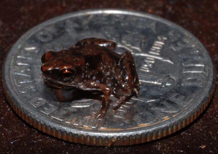 Cele mai mici animale - Broasca