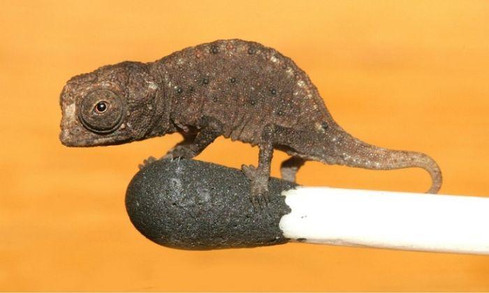 Cele mai mici animale - Cameleon