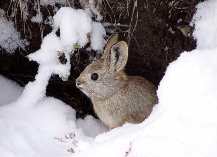 Cele mai mici animale - Iepure pigmeu
