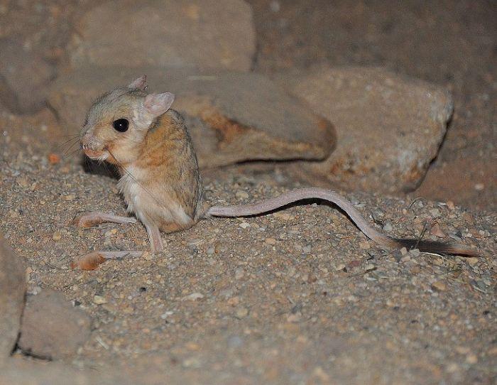 Cele mai mici animale - Jerboa