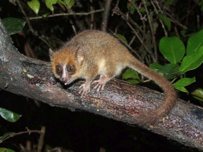 Cele mai mici animale - Lemur soarece