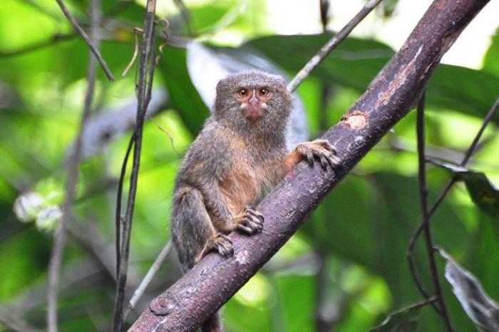Cele mai mici animale - Marmoseta pigmeu