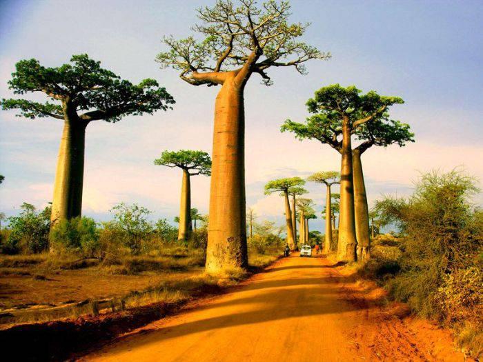 Madagascar - Baobabi