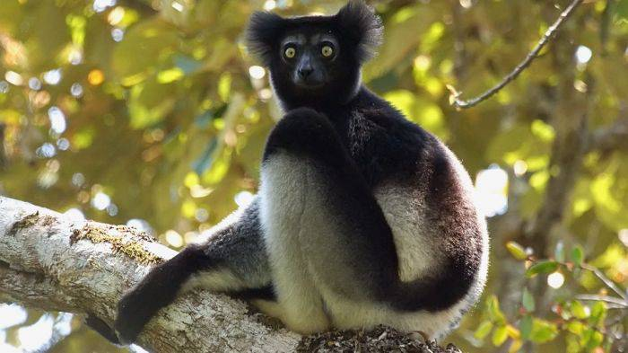 Madagascar - Lemur Indri