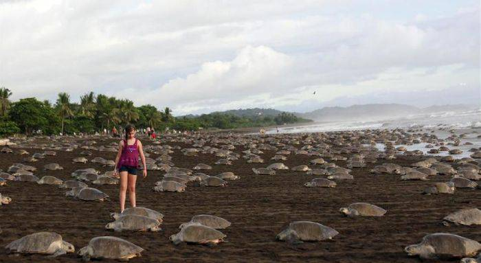 Minuni ale naturii - Playa Ostional