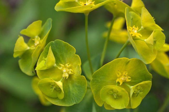 Plante periculoase - Eurphorbia