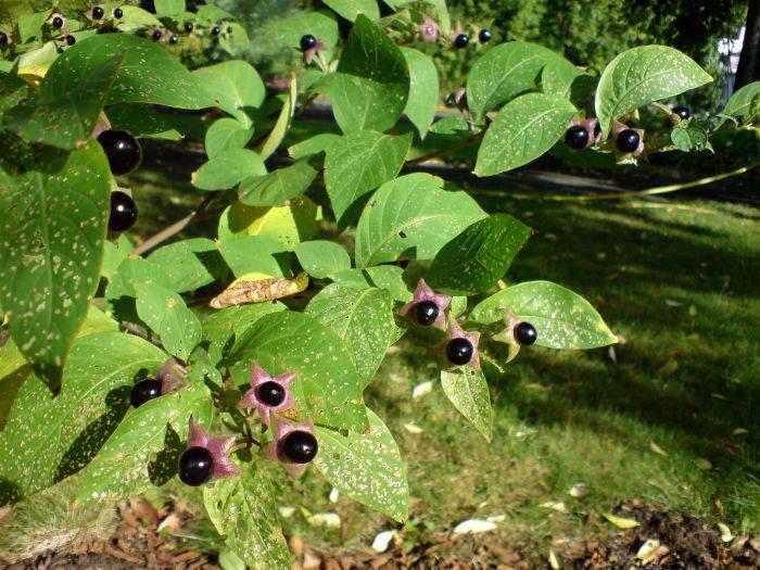Plante periculoase - Matraguna