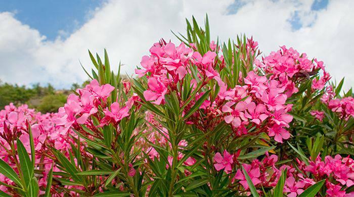 Plante periculoase - Oleandru