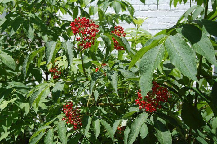 Plante periculoase - Socul rosu 1