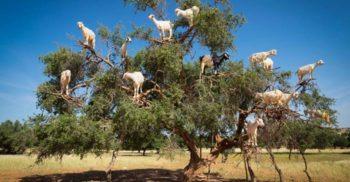 """Povestea curioasă a copacilor în care """"cresc"""" capre"""
