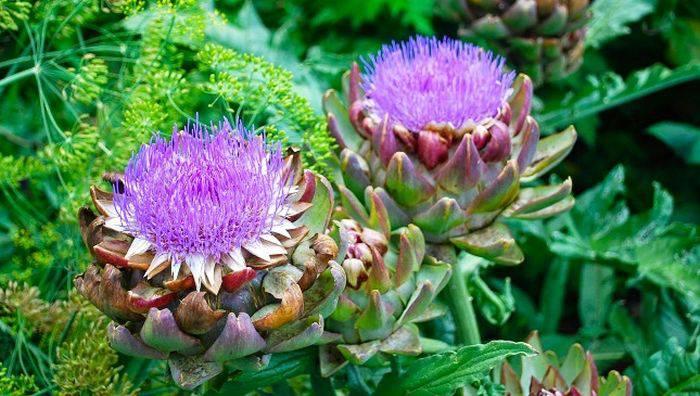 Plante comestibile - Anghinare