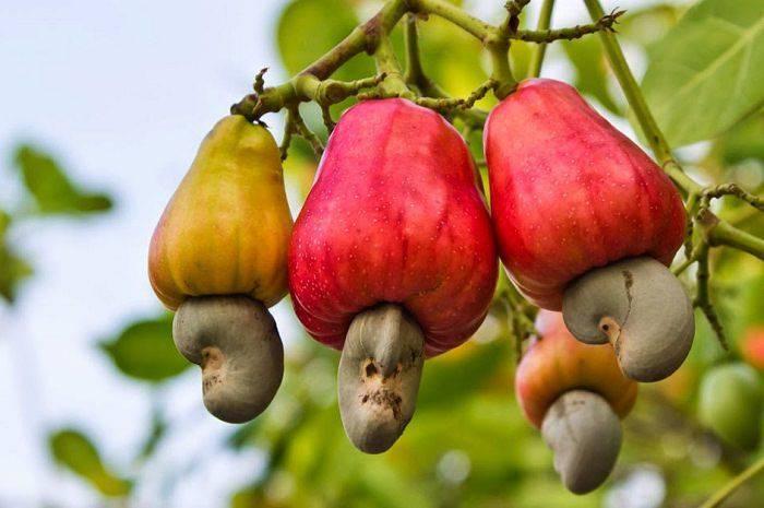 Plante comestibile - Caju