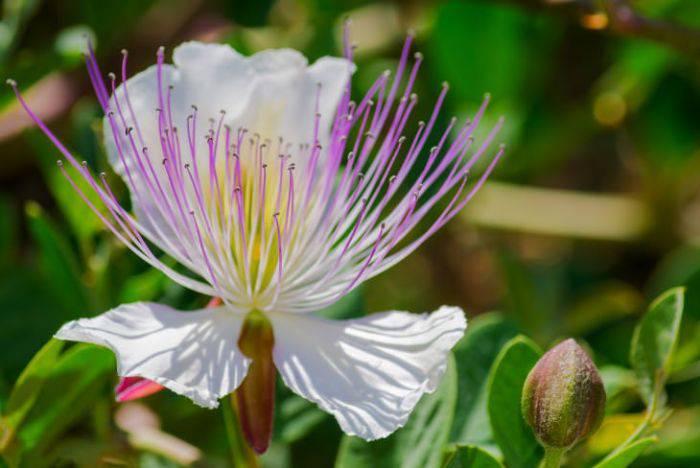 Plante comestibile - Capere