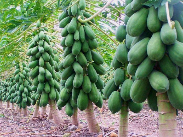 Plante comestibile - Papaya