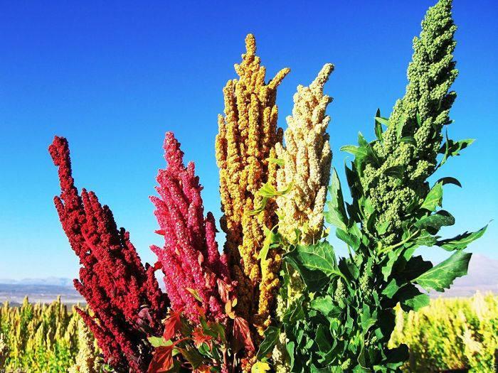 Plante comestibile - Quinoa