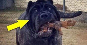 Eufrat, cel mai mare câine din lume, este copia unui monstru antic dispărut featured-01-01_compressed