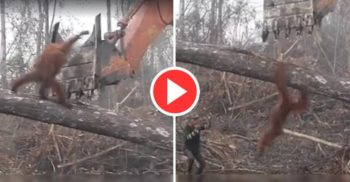 Emoționant: Un urangutan își apără casa de oamenii care o distrug