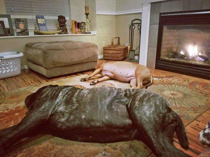 cel mai mare câine din lume