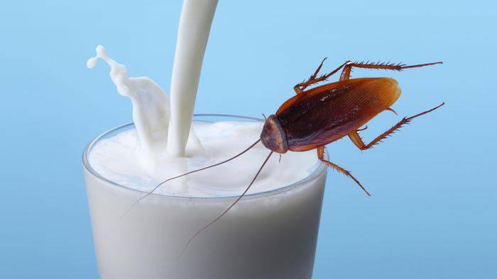 lapte de gândac