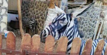 Angajații unui zoo din Egipt au vopsit un măgar și l-au prezentat drept zebră