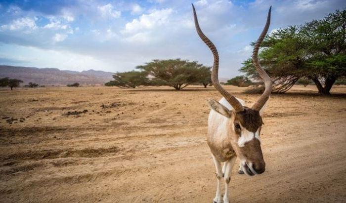 Animale - Antilopa
