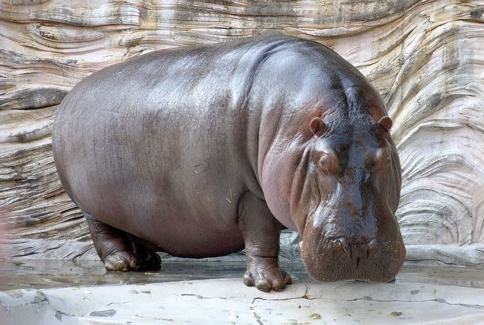Animale - Hipopotam