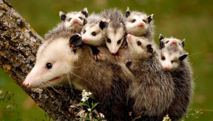 Animale - Oposum