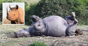 Lăcomie fără limite: Au ucis un rinocer pentru mai puțin de 1 centimetru de corn