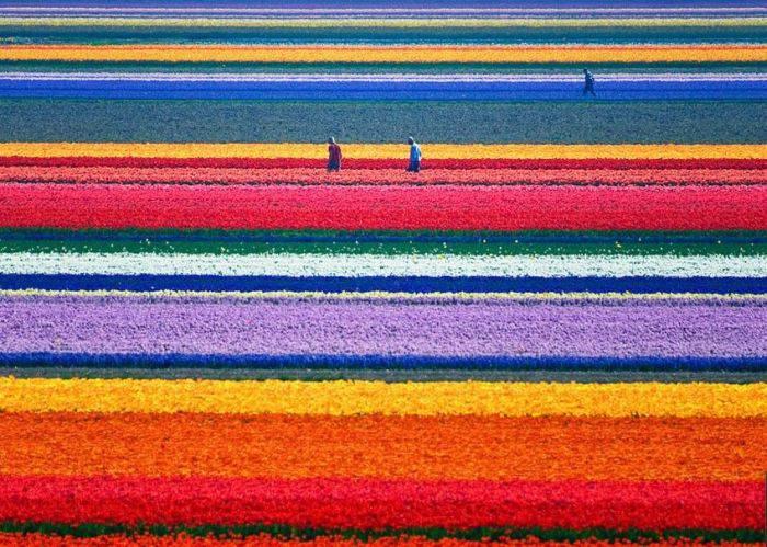 Locuri colorate - Lalele