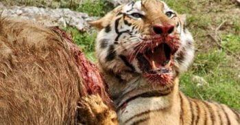 Tigrul bengalez care a mâncat 436 de oameni, până când un colonel a decis să-l vâneze