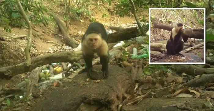 VIDEO Aceste maimuțe din America Centrală au intrat oficial în Epoca de Piatră FEATURED_compressed